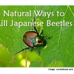 4 Natural Ways To Kill Japanese Beetles