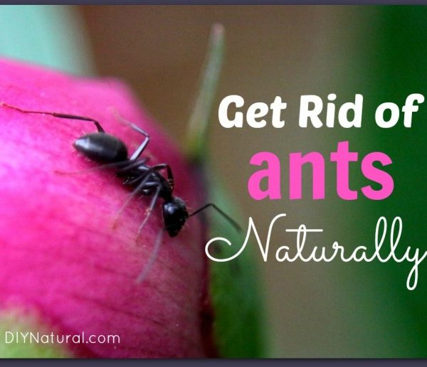 How Do I Get Rid Of Ants Naturally