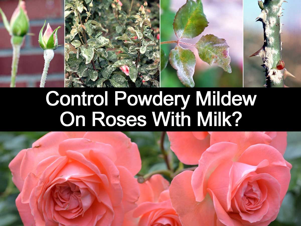 Have blackspot on your roses get milk for Do black roses grow naturally