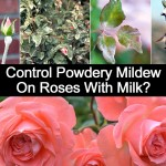 Have Blackspot On Your Roses? Get Milk