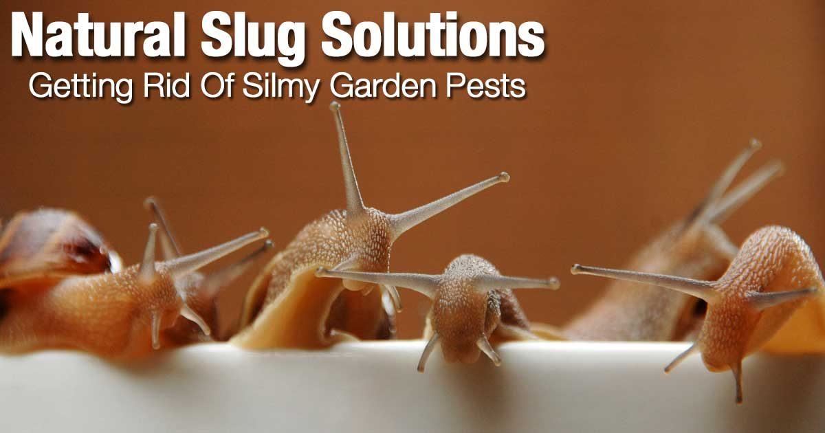 Natural Slug Solutions To Get Rid Of Silmy Garden Pests