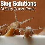 Natural Slug Solutions To Get Rid Of Slimy Garden Pests
